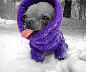 chihuahua, purple, and snow image