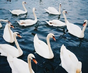 blue, Swan, and animals image