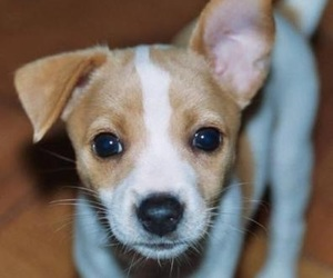 jack russell terrier and sweet puppy image