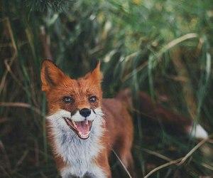 fox, animal, and summer image