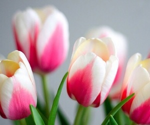 flower, pink, and white image