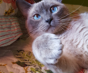 blue eyes, cat, and pretty image