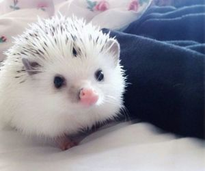 animal, hedgehog, and lovely image