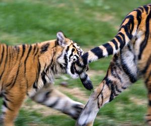 big cat, mammal, and tiger image