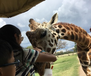 giraffe, mexico, and photography image