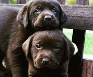 lovely puppies, chocolatey puppies, and brownish puppies image