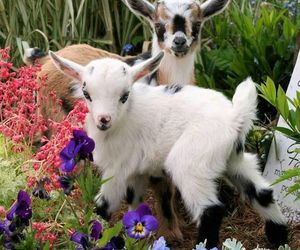 goat and animal image