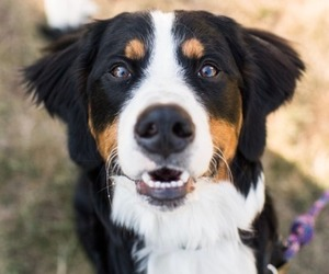 animals, dogs, and bernese mountain dog image