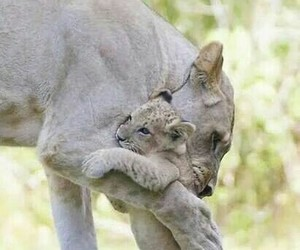 cub, lioness, and cute image