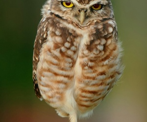 animals and little owl image