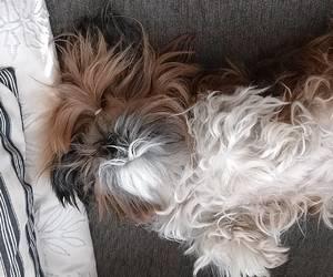 dog, shihtzu, and adorable image