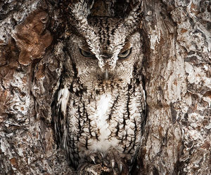 camouflage, hidden, and owl image