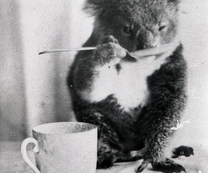 pets, wild pets, and koala domestic image