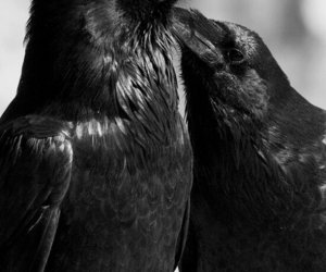 raven, bird, and black and white image