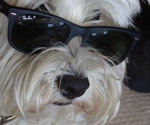 dog, dogs, and yorkies image