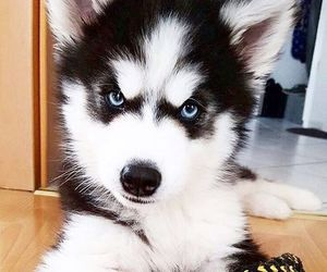 husky, puppy, and adorable image