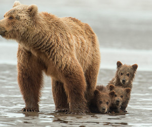 animals, baby animals, and bear cubs image