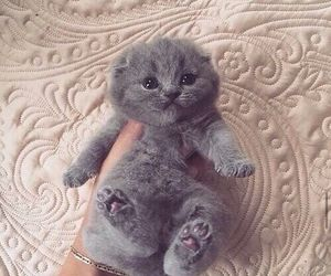 grey and kitten image