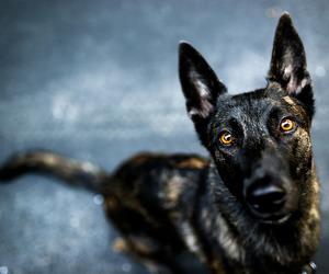 animals, dogs, and dutch shepherd image