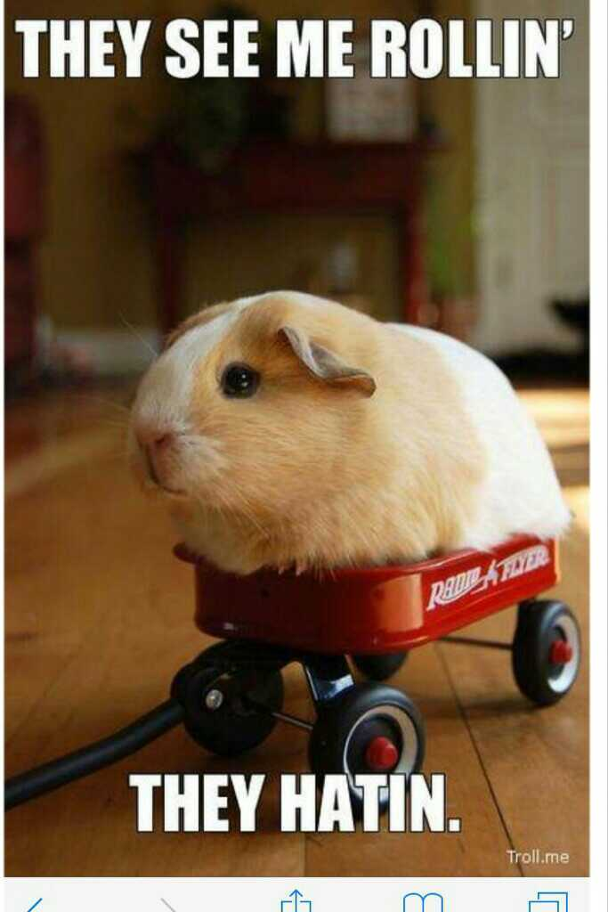 funny, hamster, and guinea pig image