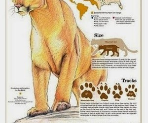 big cats, COUGAR, and mountain lion image