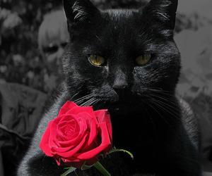 black cat, cat, and rose image