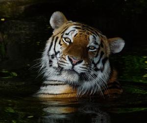 big cat, portrait, and siberian tiger image