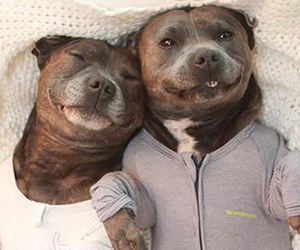 dog, pitbull, and smile image
