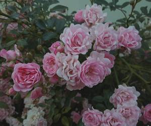 estonia, pink, and roses image