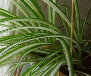green, pretty, and spider plant image