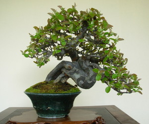 bonsai, tree, and bonsai tree image