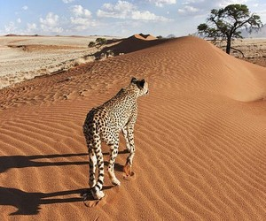 desert, animal, and leopard image