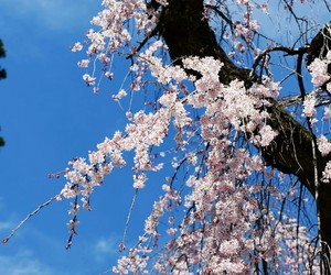 aesthetic, sakura, and beauty image