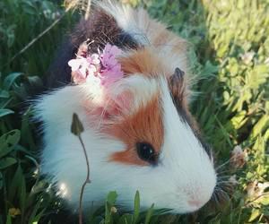 guinea, guinea pig, and pig image