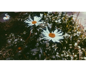 daisies, ginger, and picture image