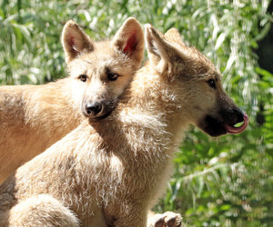 animals, wolf, and baby animals image
