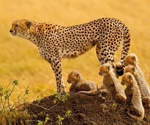 animal, cheetah, and africa image