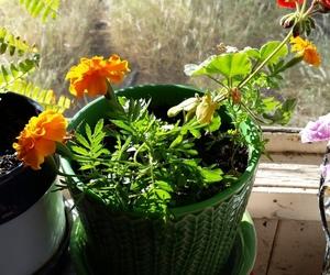 flowers, pot plant, and geranium image