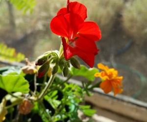 flower, geranium, and red image