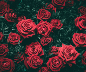 red, roses, and redroses image