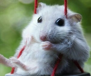 adorable, animals, and hamster image