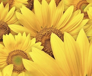 flowers, yellow, and sunflower image