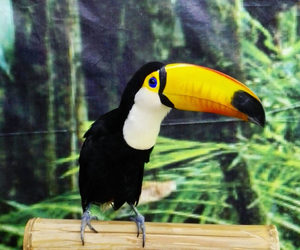 animal, animals, and toucan image