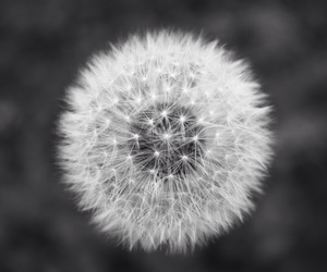 dandelion and grey image