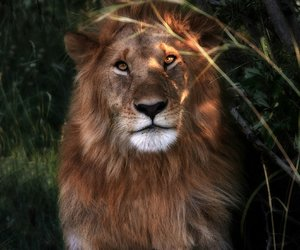 big cats, lion, and roar image