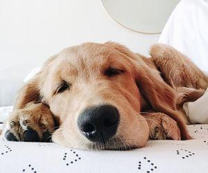 animals, dog, and golden retriever image