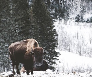 buffalo, canada, and forest image