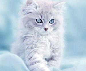 cat, kitty, and şirin image
