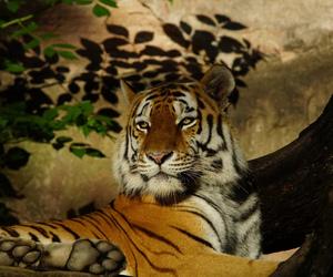 big cat, portrait, and predator image