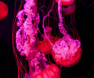 jellyfish and pink image